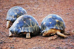 Three Radiated Tortoises (Susan Roehl) Tags: madagascar2017 islandofmadagascar berentyreserve radiatedtortoises notwild astrochelysradiata testudinidaefamily native mostabundantinthesouth longlived atleast188years criticallyendangered habitatloss poaching animal reptile sueroehl photographictours naturalexposures panasonic lumixdmcgh4 35x100mmlens handheld coth5 ngc npc