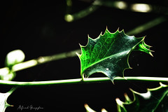 Beginnings, Tied Up Until Christmas (Alfred Grupstra) Tags: leaf nature closeup plant backgrounds macro greencolor autumn nopeople environment season abstract forest freshness growth botany beautyinnature tree spiderweb