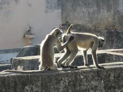 private investigations (gerben more) Tags: pushkar back monkey animal rajasthan