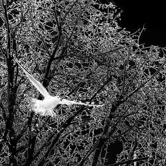 because the night... (nika.vero) Tags: tree night experiment experimental bird flying seagul shilouettes animal square bw monochrome blackandwhite trees