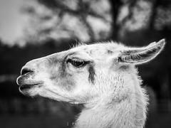Llama (amipal) Tags: animal ashdownforest england gb greatbritain llama llamacentre nature spring sussex uk unitedkingdom