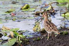 Latham's Snipe. (Ged Tranter) Tags: canoneos7dmarkii snipe 7dmkii canonef100400mmf4556lisiiusm lathams