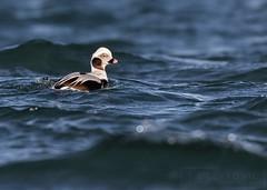 Long-tailed Duck (T L Sepkovic) Tags: longtailedduck duck waterfowl seaducks canonusa 5dmkiv wildlifephotography lenscoat