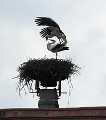 Weissstorch (Sam.24) Tags: vögel stroch march marchauen austria frühling