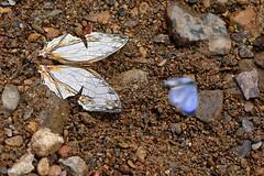 Cyrestis thyodamas ssp. thyodamas - Chiang Dao_20180202_1328_DSC_7413_DxO (I love comments but delete awards - Jan F. Rasmuss) Tags: cyrestinae chiangmai chiangmaiprovince chiang chiangdao nymphalidae nymphalid nymphalids thailand d800 butterfly butterflies macro closeup insecta lepidoptera rhopalocera nikon janfischerrasmussen janfrasmussen asia southeastasia cyrestisthyodamassspthyodamas cyrestis cyrestisthyodamas thyodamas