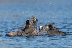 Coots Fighting (Simon Stobart) Tags: coot fulica atra fighting water north east england uk