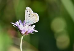 Licénido en Mipanas (esta_ahi) Tags: huesca mipanas mariposa butterfly lycaenidae lepidoptera insectos fauna somontano somontanodebarbastro aragón spain españa испания