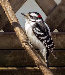 Downy Woodpecker - male (mahar15) Tags: woodpecker maledownywoodpecker downywoodpecker wildlife nature bird malewoodpecker