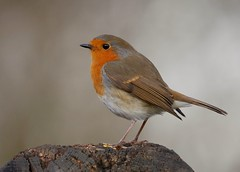 Robin (PhotoLoonie) Tags: bird wildlife nature avian wildbird robin attenboroughnaturereserve