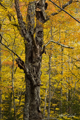 Sentinel_27A7725 (Alfred J. Lockwood Photography) Tags: alfredjlockwood nature landscape mapletrees treetrunk treeskeleton autumn autumnalcolor autumncolor fallcolor fallfoliage leaves acadianationalpark morning overcast maine birchtree sentinel