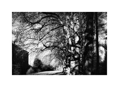 Eutin III (Passie13(Ines van Megen-Thijssen)) Tags: deutschland holsteinerschweiz eutin blackandwhite germany bw sw zw zwartwit monochroom monochrome monochrom tree park fujifilm x100f inesvanmegen inesvanmegenthijssen