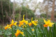 Local Flora @ SE15 (Adam Swaine) Tags: spring daffodils peckhamryepark naturelovers nature flora flower flowers petals londonparks england english britain british beautiful canon yellow uk parks plants dulwichdiverter southwark