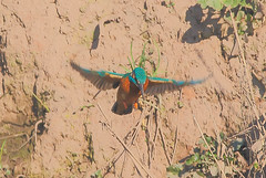 Male kingfisher (badger2028) Tags: kingfisher alcedo atthis flight flying hovering