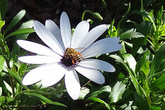 When the flower blossoms, the bee will come. (Srikumar Rao) (boeckli) Tags: flowers white weiss flower flora fleur daisy garden garten plants plant pflanzen pflanze outdoor bees bee biene bienen insect insekt petal hx9v 30361