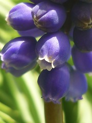 Einzelblüte Traubenhyazinthe (Jörg Paul Kaspari) Tags: muscari armeniacum muscariarmeniacum kelberg garten armenische traubenhyazinthe blüte flower bulb zwiebelpflanze frühling spring azurblau violettblau