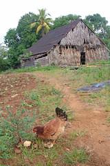 Mama & Babies (peterkelly) Tags: digital canon 6d northamerica cuba cubalibre gadventures viñalesvalley farmwalk barn farm rural agriculture chicken hen chicks chick tobacco path trail