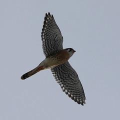 amke-im-m-neartwobuttes-1-20-19-tl-01-croplarger (pomarinejaeger) Tags: colorado bird americankestrel falcosparverius