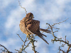 Kestrel preening (Maria-H) Tags: kestrel falcotinnunculus glossop highpeak derbyshire uk olympus omdem1markii panasonic 100400