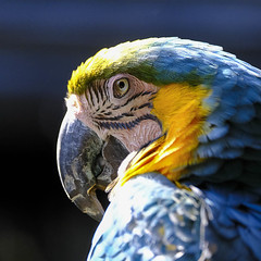Macaw (Leon Sammartino) Tags: fujifilm bord macaw zoo melbourne australia 55200 zoom telephoto wildlife