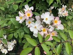 des-roses© (alexandrarougeron) Tags: photo alexandra rougeron flickr fleurs nature plante végétal végétale ville beauté couleur frais