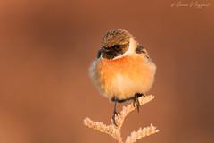 """Il primo"" - Saltimpalo (Simone Mazzoccoli) Tags: nature bird birdwatching wild wildlife stonecht saxicola colors sunrise bokeh backgound saltimpalo"