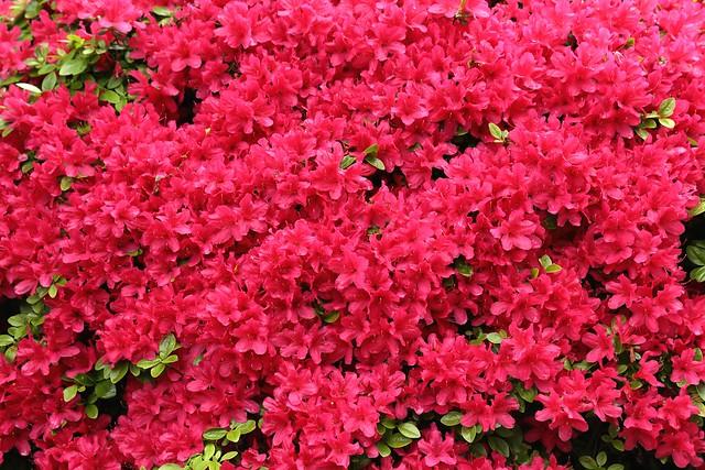 Обои цветение, рододендрон, азалия картинки на рабочий стол, раздел цветы - скачать