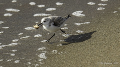Sanderling (Bob Gunderson) Tags: birds calidrisalba california northerncalifornia presidio sanfrancisco sanderling sandpipers shorebirds waveorgan