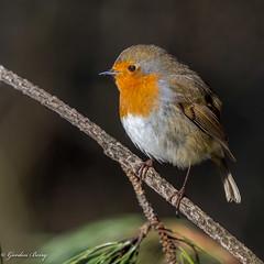 Robin 02-Feb-19 G_020 (gomo.images) Tags: 2019 bird country fife mortonlochs nature robin scotland years