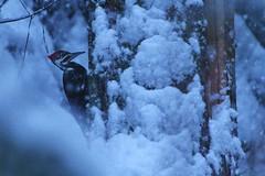 Snowbird (Mason E. Emley) Tags: woodpecker bird pileated wildlife washingtonstate winter snow snowstorm animal
