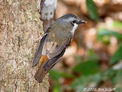 Grey-headed Robin (Jim Scarff) Tags: australianbirds greyheadedrobin heteromyiasalbispecularis passerines robins exif:aperture=ƒ71 exif:lens=ef100400mmf4556lisiiusm14xiii camera:model=canoneos7dmarkii camera:make=canon geo:location=chamberswildliferainforestlodge exif:focallength=299mm exif:isospeed=1600 exif:model=canoneos7dmarkii exif:make=canon