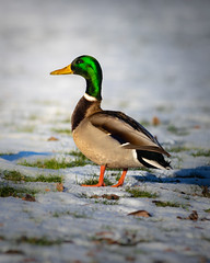 What are you looking at? (christianviktorsson) Tags: canon 80d 70200 duck snow bird hovetorp linköping