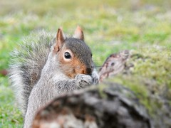 Grey Squirrel (LouisaHocking) Tags: british bird forestfarm wales wild wildlife nature southwales mammal squirrel animal greysquirrel