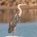 Grey Heron - with a Crooked Beak