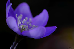 Pistils dans le bleu (jpto_55) Tags: fleur anémone hépatiques bleu macro proxi bokeh fuji fujifilm xt20 kiron105mmf28macro hautegaronne france