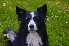 You've got a friend (ASHA THE BORDER COLLiE) Tags: dog portrait inspirational quote song title grass colours ashathestarofcountydown connie kells county down photography