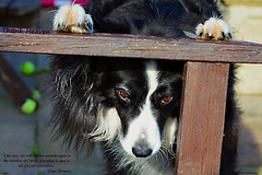 Thank Heaven for a dog's life (ASHA THE BORDER COLLiE) Tags: inspirational dog praying pope francis soulful eyes ashathestarofcountdown connie kells county down photography littledoglaughedstories