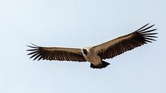 African White-Backed Vulture (ovg2012) Tags: africa nature africanwhitebackedvulture gypsafricanus canon travelphotographer keniaafrika wildlifephotography wildlifephoto kenya wildlife nairobi nairobinationalpark wild weisrückengeier animal reisefotografie
