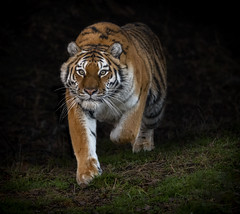 Tiger Charge-2 (tiger3663) Tags: amur tiger tschuna charge yorkshire wildlife park