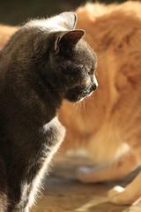 IMG_3707 (christineNZ2017) Tags: auckland newzealand furbaby furbabies cats cat feline gato animal mammal neko kattekop katt fur kitty katze katzen chat gatto kissa kot pisica moggy meow purr holly grey gray tortoiseshell 2019 morningsun