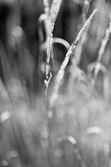 Whispering Secrets (belleshaw) Tags: blackandwhite livingdesertzooandgardens palmdesert nature grass plant blades seeds deergrass dried winter blooms detail texture abstract