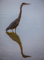 FM5A0350 (Kemp Davis) Tags: wildlife nature aquaticbird greatblueheron