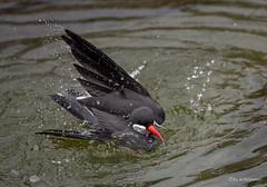 Badespaß (wernerlohmanns) Tags: wasservögel schärfentiefe natur nikond750 sigma70200f28sport seeschwalbe inkaseeschwalbe deutschland zoo krefelderzoo