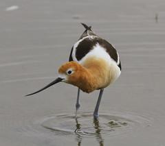 American avocet (Oregon State University) Tags: americanavocet birds oregon shorebird usa wetlands