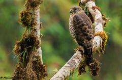 Broad-winged Hawk (Buteo platypterus) - Cosanga, EC (bcbirdergirl) Tags: broadwingedhawk cosanga ecuador ec southamerica hawk raptor birdofprey hawks buteoplatypterus andes sanisidro cabanassanisidro