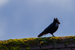 Crow or Raven? (Mikon Walters) Tags: crow raven uk britain england united kingdom bird fly flying creature animal features beak black nikon d5600 sigma 150600mm super zoom lens photography close up lightroom outdoors nature contemporary