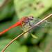 Orange Skimmer