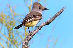 Bird pose (thomasgorman1) Tags: bird flycatcher branch desert nature wildlife nikon baja mexico mx