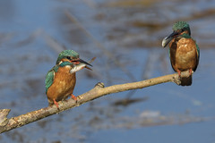 Room for another? (Chris Bainbridge1) Tags: alcedoatthis common kingfisher male female roach food pass kingfishers suffolk