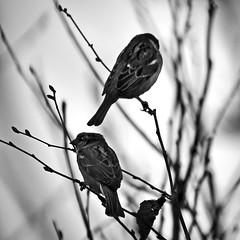Domestic Squabble (LonánWL) Tags: canoneos200d canonefs55250mmf456isstm blackandwhite blackwhite blackwhitephotos bird bush branch leef sparrow nature animal wildlife outdoor outside noiretblanc noirblanc branche buisson feuille oiseau exterieur dehors moineau monochrome