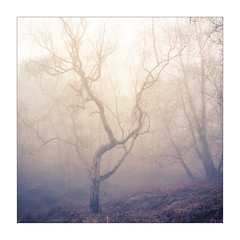 Stand Alone (gerainte1) Tags: woodland winter mist trees colour film portra400 hasselblad501